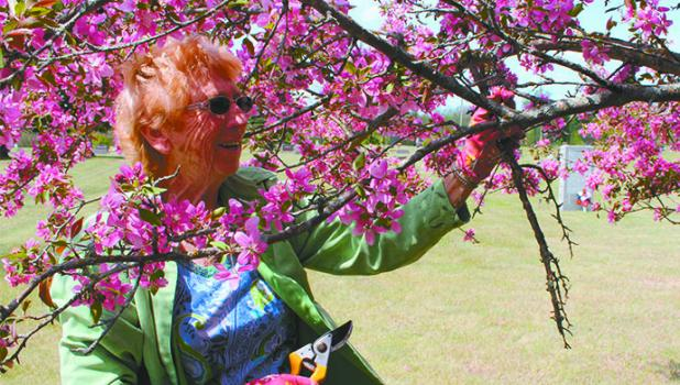 Gay Swecker prunes branches from the flowering crabapple tree at Poplar Cemetery. Swecker is a third-generation member of the Poplar Ladies Birthday Club which helps maintain the grounds at the cemetery. Her daughter, Coleen (Swecker) Bowers, is a fourth-generation member.